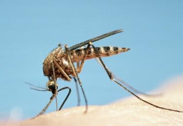 Genetiği Değiştirilmiş 750 Milyon Sivrisinek Florida'yı Hastalıklardan Koruyacak